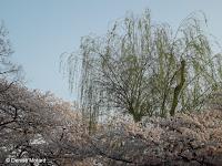 Weeping willo above sakura (blooming cherry trees) - Ueno Park, Tokyo, Japan