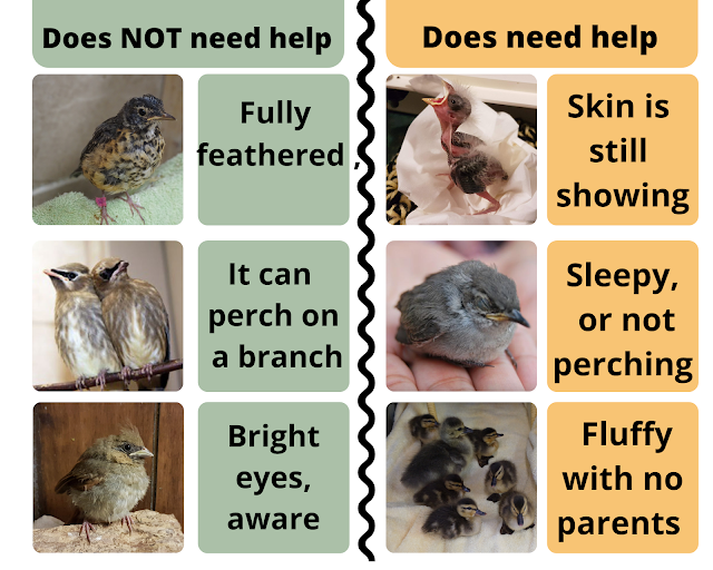 What do I do if I find a baby bird? OVWBCC summer safety tips  frequently asked questions about wild bird safety and baby birds.
