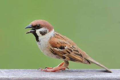 √ Download Suara Burung Gereja Tarung Mp3