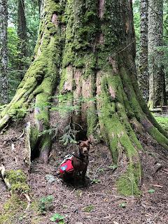 Dog and massive cedar tree