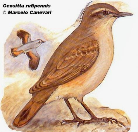 Caminera colorada, Geositta rufipennis