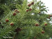 China fir cones - Kyoto Botanical Gardens, Japan