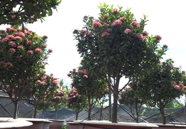 Hoa trang hồng sen có rất nhiều nhánh với tán từ 30-40cm