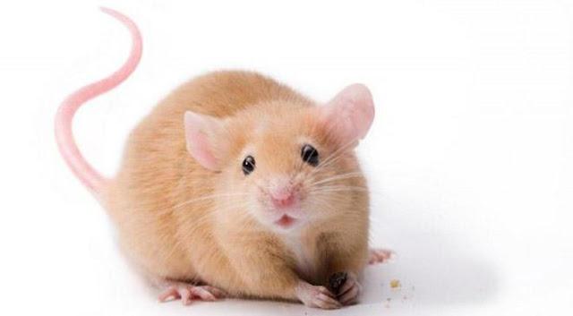 تفسير رؤيه الفأر في المنام
