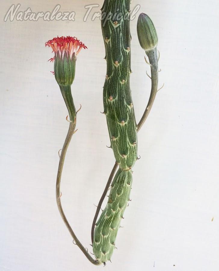 Vista de un tallo con inflorescencias de la planta suculenta Kleinia pendula