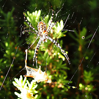 Banded orb spider, eating a cricket