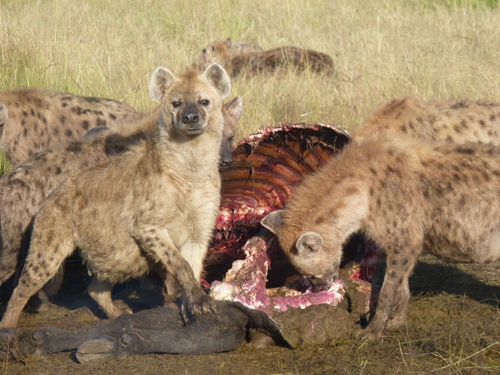 Hyenas Eating A Buffalo And Doing Their Part To Maintain Balance In The Mara