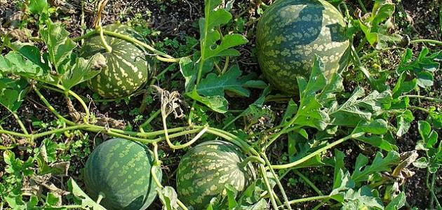 فوائد وأضرار نبات الحنظل