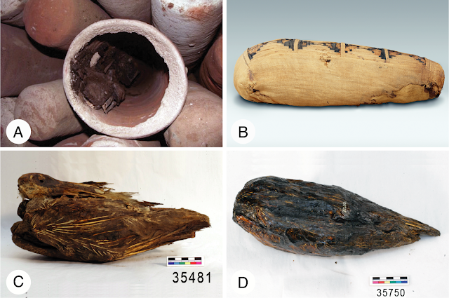 How Sacred Ibis mummies played a unique role in story of evolution