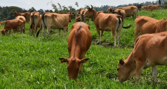 Usaha peternakan sapi dilindungi pemerintah dengan asuransi. Gambar: TabloidSinarTani.com