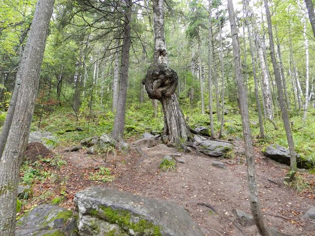 Волшебная берёза в национальном парке Таганай