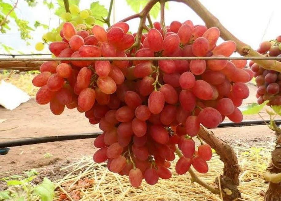 Bibit Anggur Import Jenis Veles Madiun