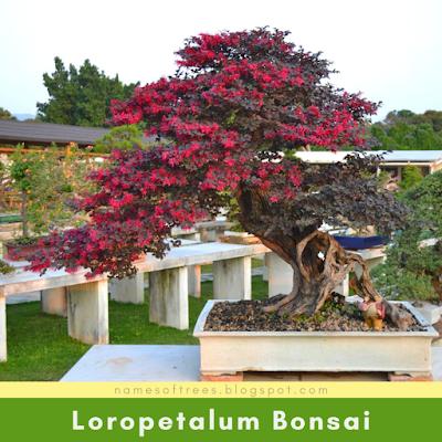 Loropetalum Bonsai