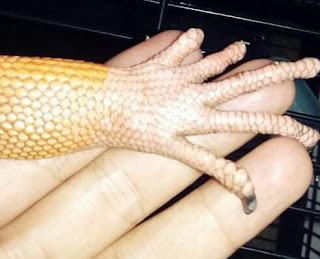 Fakta Ganti Kulit atau Sheeding Pada Iguana yang Harus Kalian Ketahui