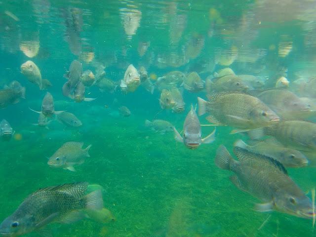 Pemenuhan protein pada konsumsi ikan