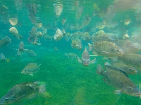 Pemenuhan Protein Pada Konsumsi Ikan, Terutama Ikan Akuakultur Yang Terkontrol