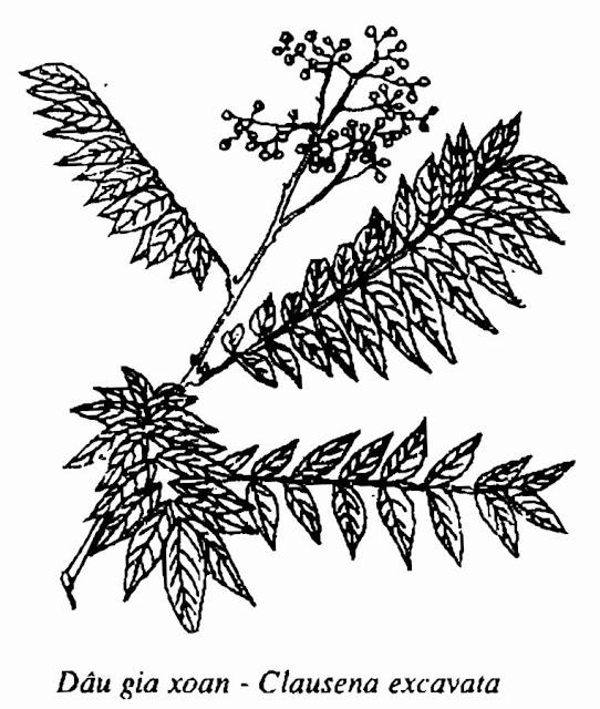 Hình vẽ DÂU GIA XOAN - Clausena excavata - Nguyên liệu làm thuốc Chữa Ho Hen