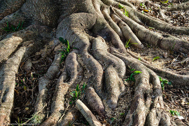 Raízes de uma árvore