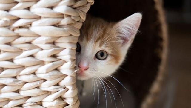 Γιατί η γάτα νιαουρίζει τη νύχτα;