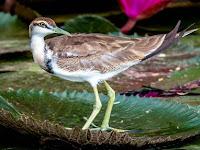 Burung Sepatu (Hydrophasianus chirurgus), Burung Penakut Pandai Berlari di Atas Tanaman Air