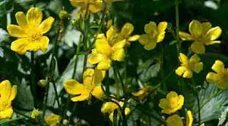 Floarea Ranunculus: Simbol, legendă, superstiții