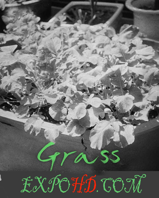 Grass 2018 IMDb 720p | BluRay 480p | Esub 1.2Gbs [Watch & Downlaod] G.Drive
