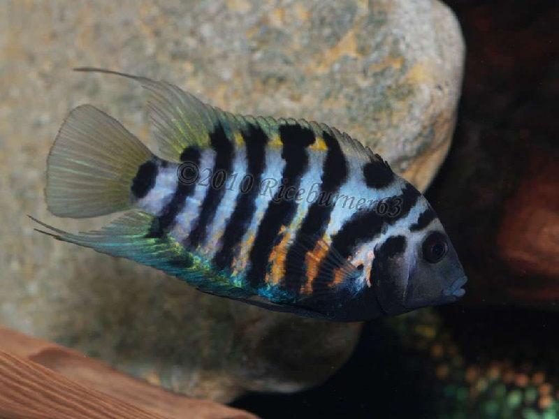 54. Jenis Ikan Hias Aquascape Convict Cichlid