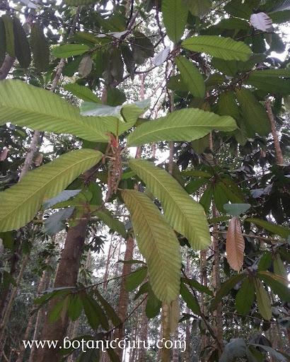 Dipterocarpus cornutus, Keruing tree