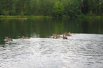 Eugene, Oregon, Alton Baker Park, canoe way, canoeway, boating, summer, water, stream, paddling, canoeing, ducks, duck family