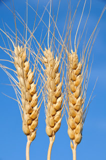 Photo of Three Stalks of Grain Against a Blue Sky