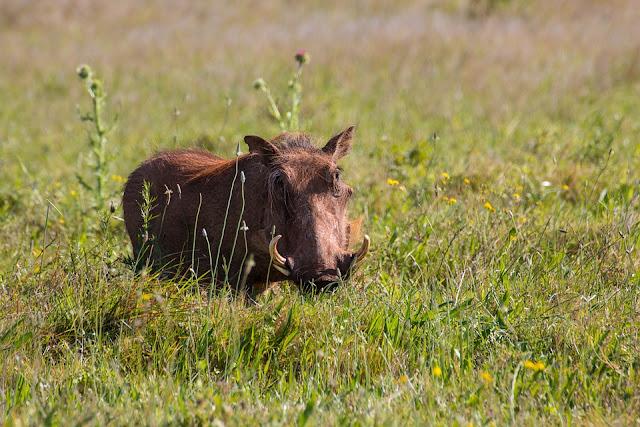 Cara Mencegah Serangan Babi Hutan di Gunung