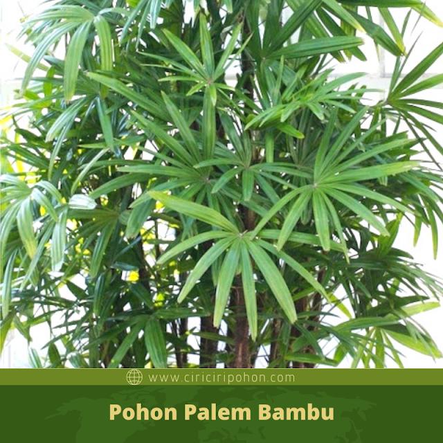 Ciri Ciri Pohon Palem Bambu