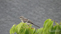 Northern mockingbird juvenile near the Long Island Sound, Stratford, CT - © Denise Motard