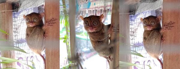 tarsius primata terkecil