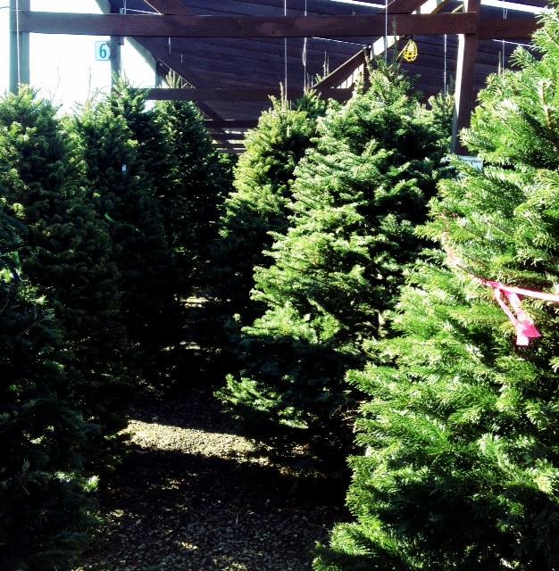 Christmas Trees - Ahhhh!