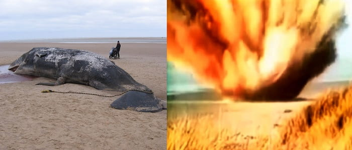 Why Does a Decomposing Whale Explode? Why Dead Whales Are So Dangerous?