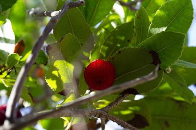 Arbutus unedo fruit.