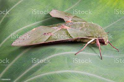 Gusano de la parra (Eumorpha labruscae)