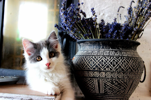 Is Lavender Safe for Cats