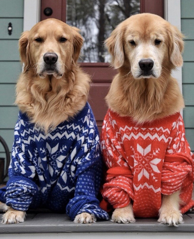 Golden Retrievers Christmas Sweaters