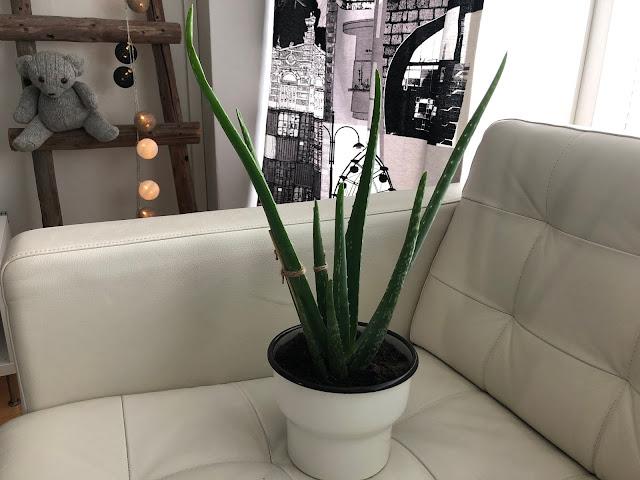 Hiljattain ostamani lempikasvi Aloe vera