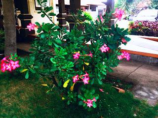 Adenium Obesum, Jepun Jepang, or Kamboja Jepang Flower Plant