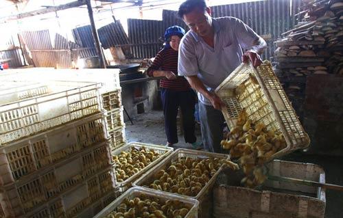 Kejam Ribuan Anak Itik Direbus Hidup-hidup di China