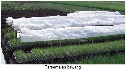 Membudidayakan Bawang Merah Yang Baik Menurut Balai Penelitian Sayur Indonesia