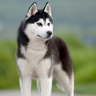 How to Breeds Siberian Husky Dog