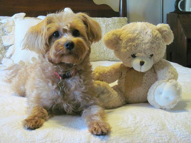Growing Puppies - Virginia Schnoodle Breeder