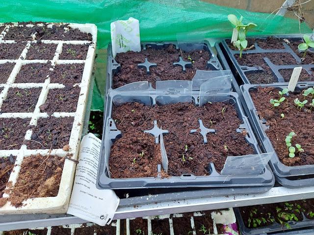 Seedlings in seed trays