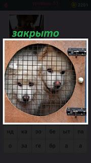 ящик с клеткой в которой закрыты две белые собаки на замок
