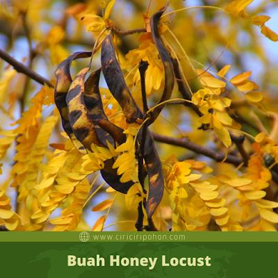 Ciri Ciri Buah Honey Locust