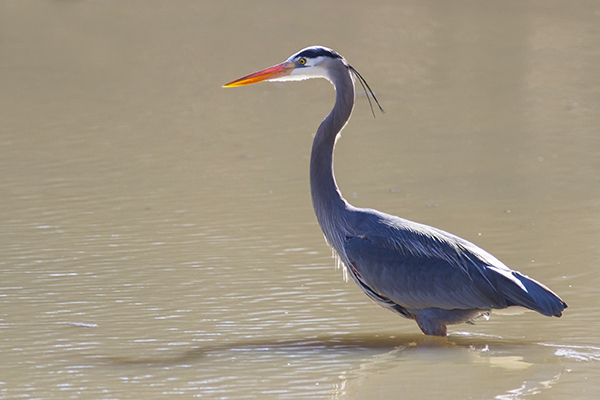 Great Bue Heron